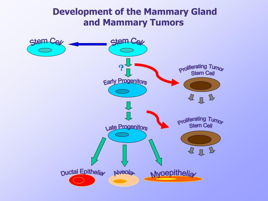 Development of the Mammary Gland