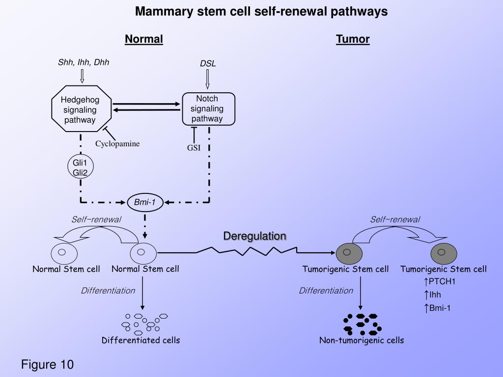 Mammary stem cell self-renewal pathways