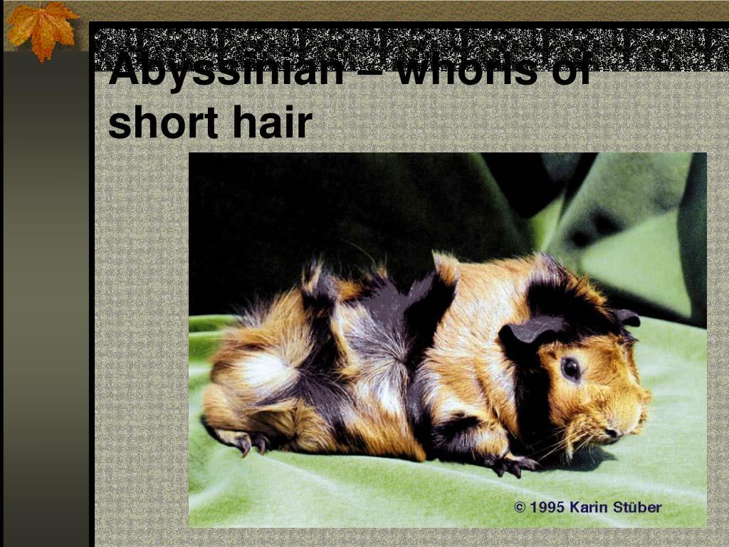 Abyssinian – whorls of short hair