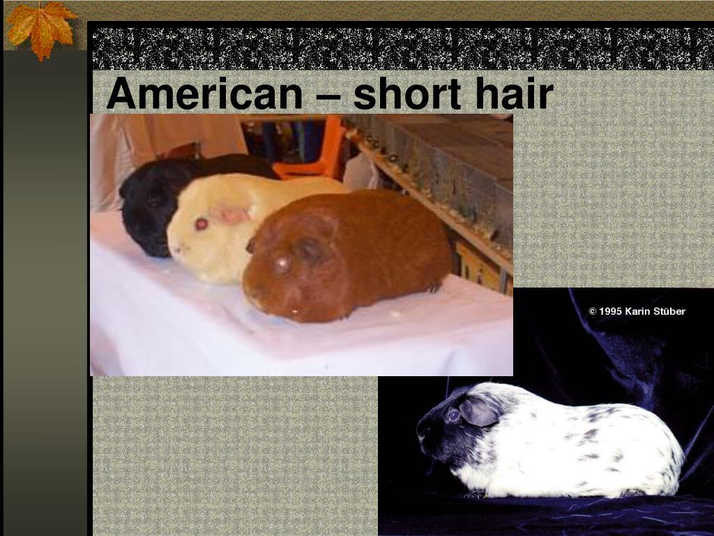 American – short hair