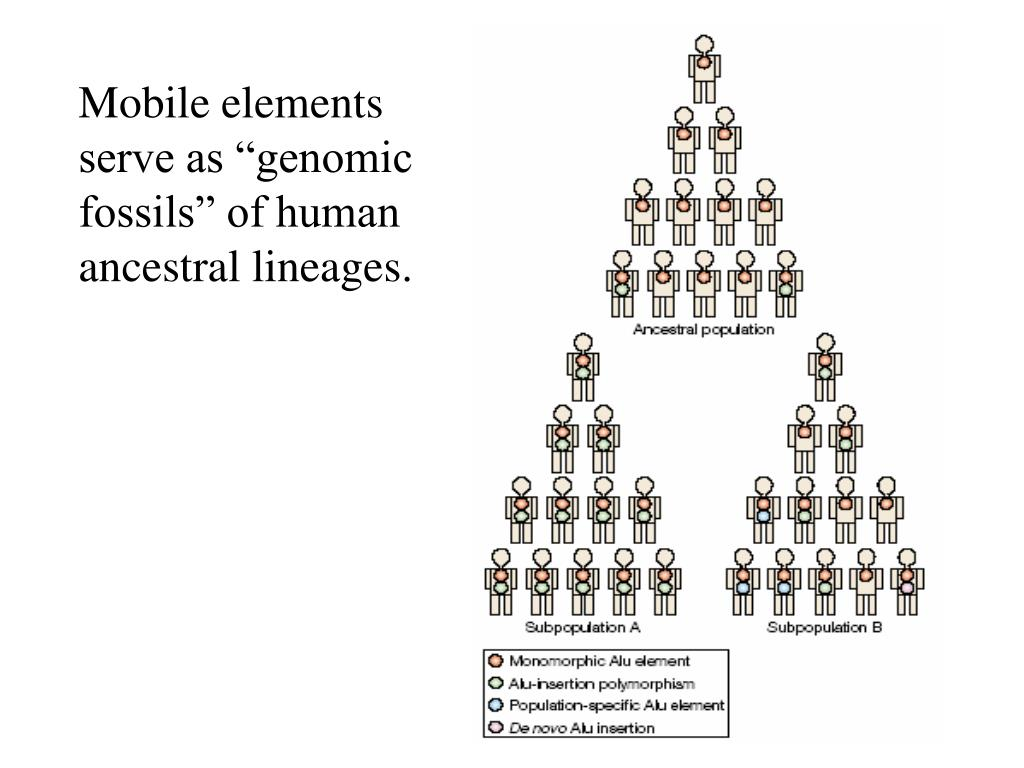 "Mobile elements serve as ""genomic fossils"" of human ancestral lineages."