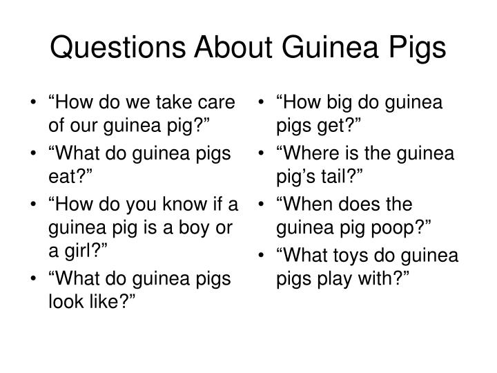 Questions about guinea pigs