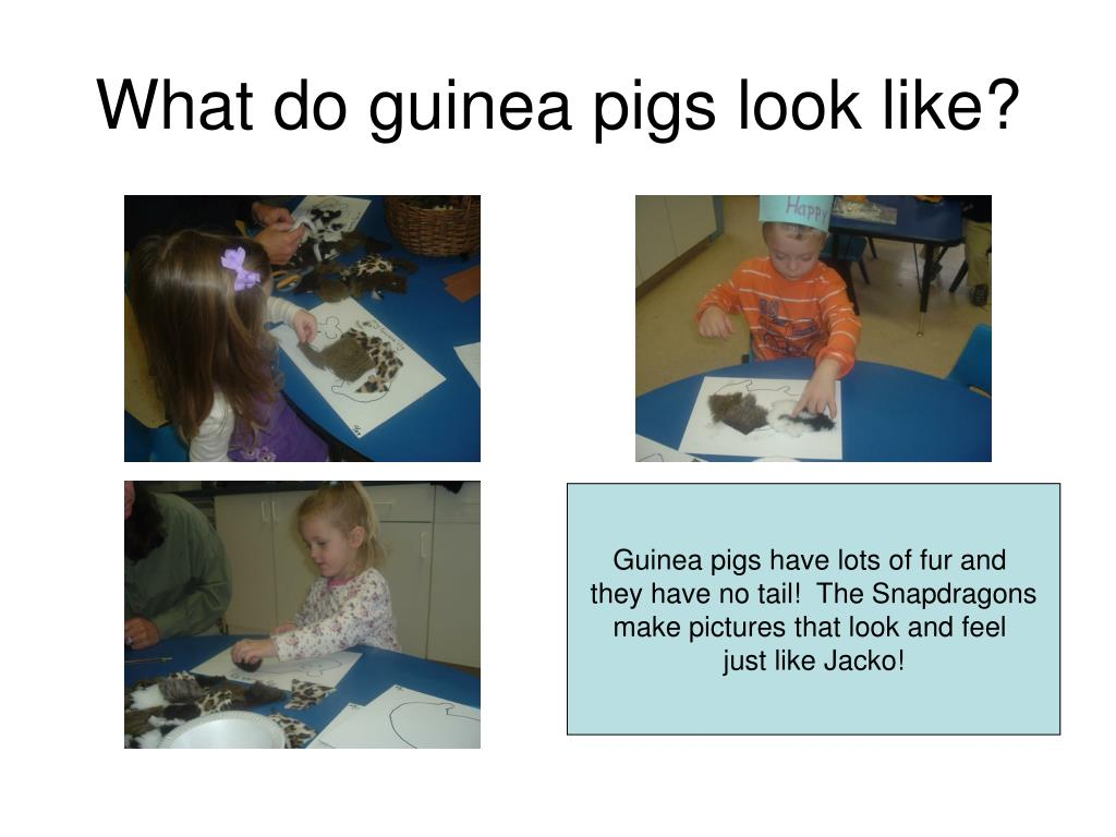 What do guinea pigs look like?