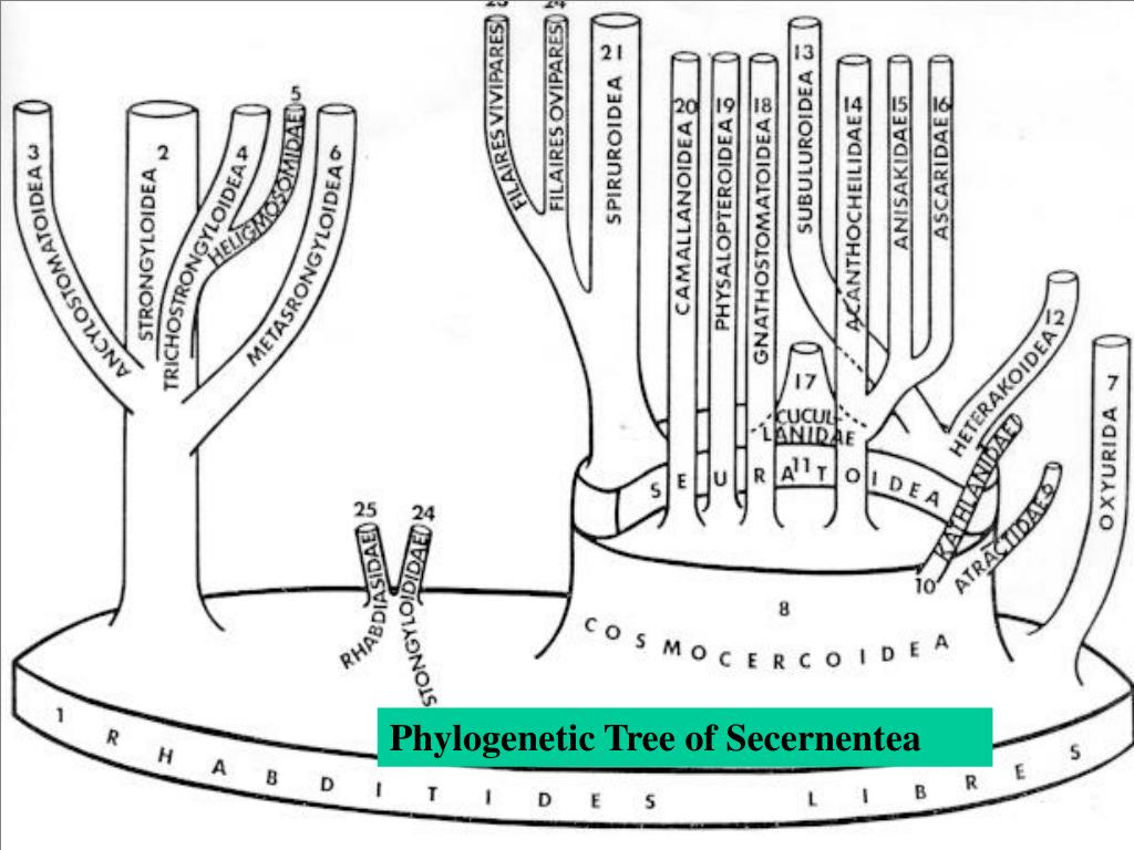 Phylogenetic Tree of