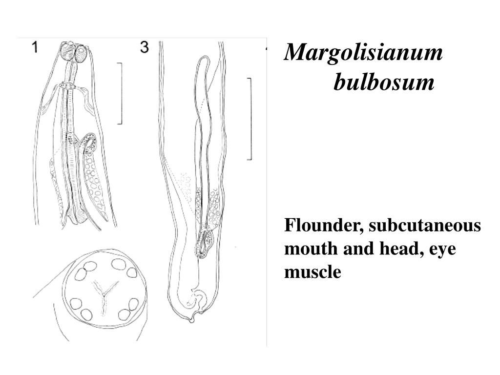 Margolisianum bulbosum