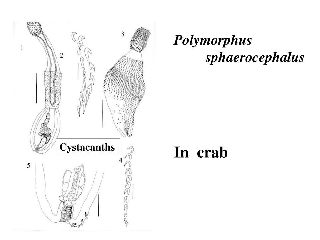 Polymorphus sphaerocephalus