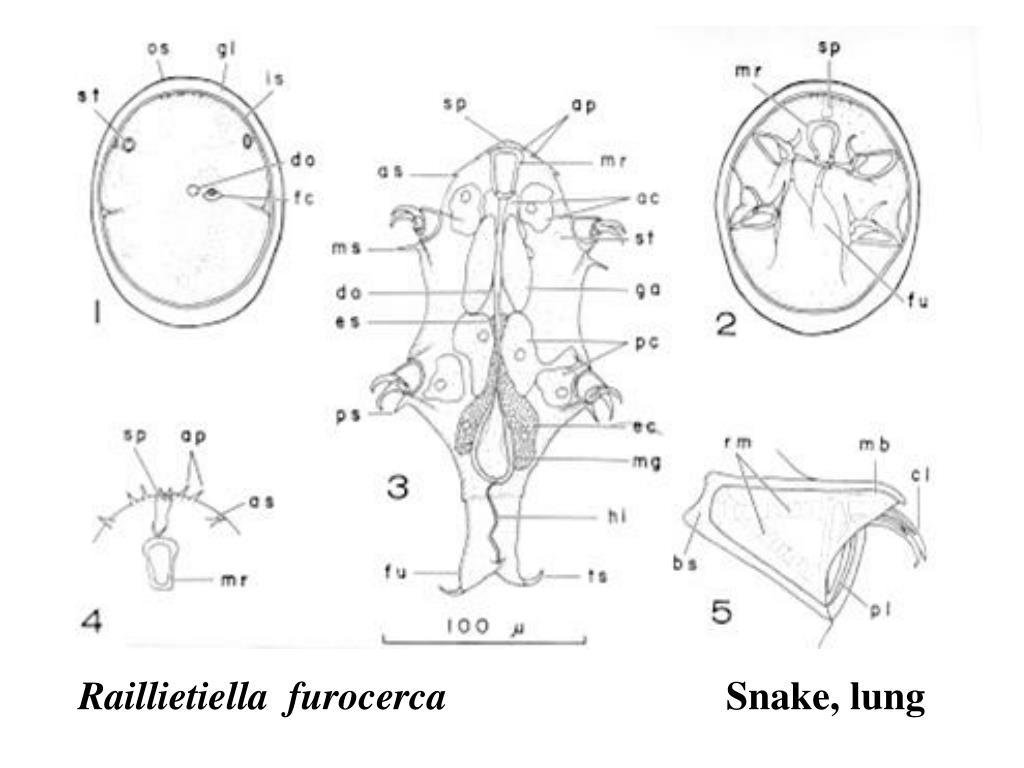 Raillietiella  furocerca