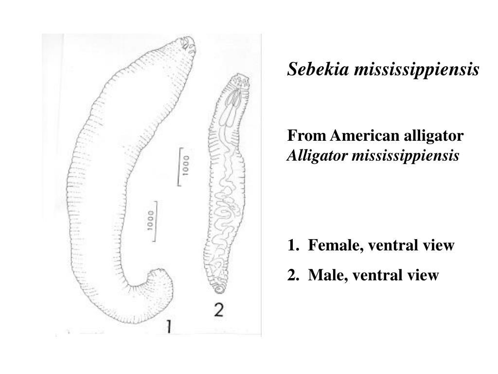 Sebekia mississippiensis