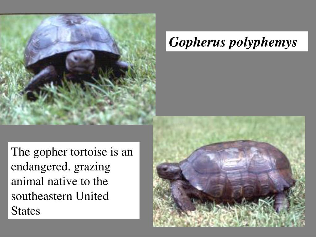 Gopherus polyphemys