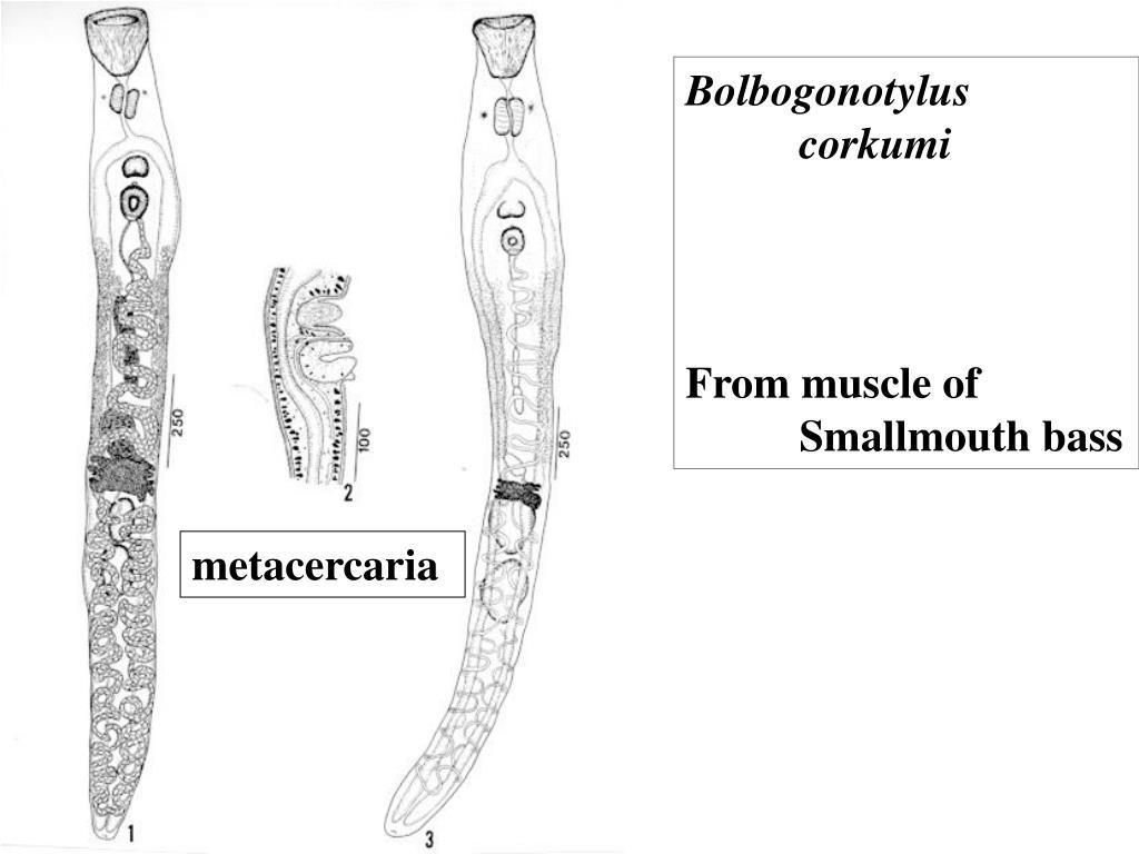 Bolbogonotylus                     corkumi