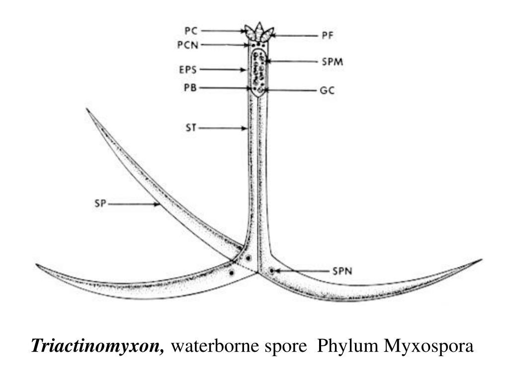 Triactinomyxon,