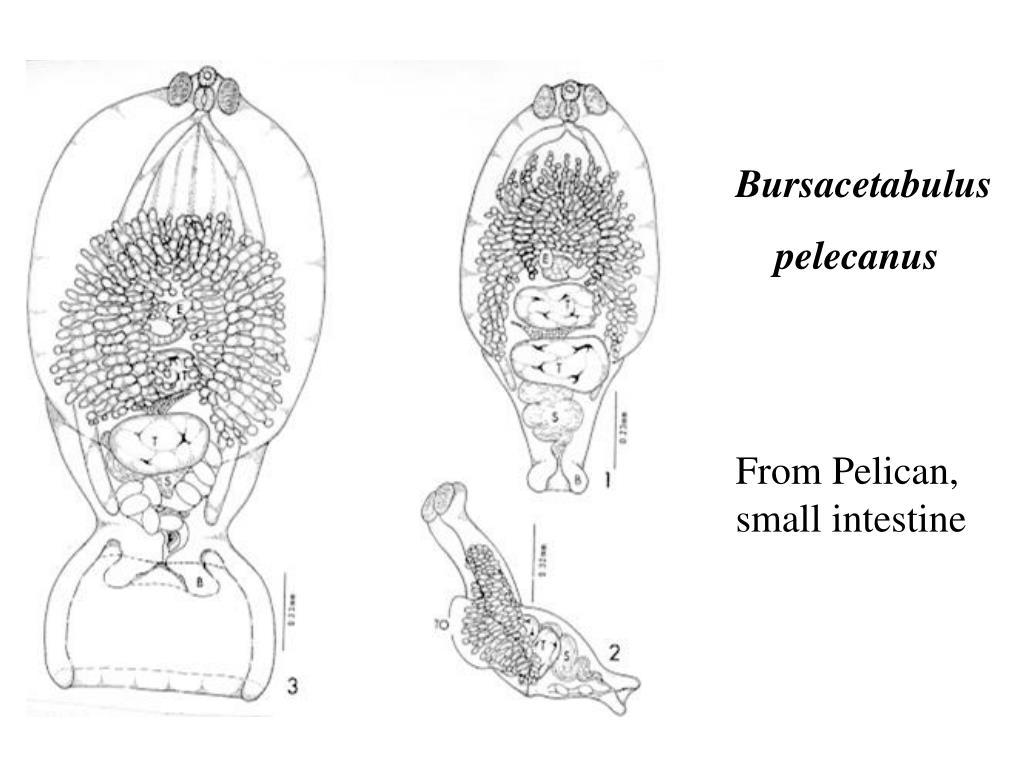 Bursacetabulus