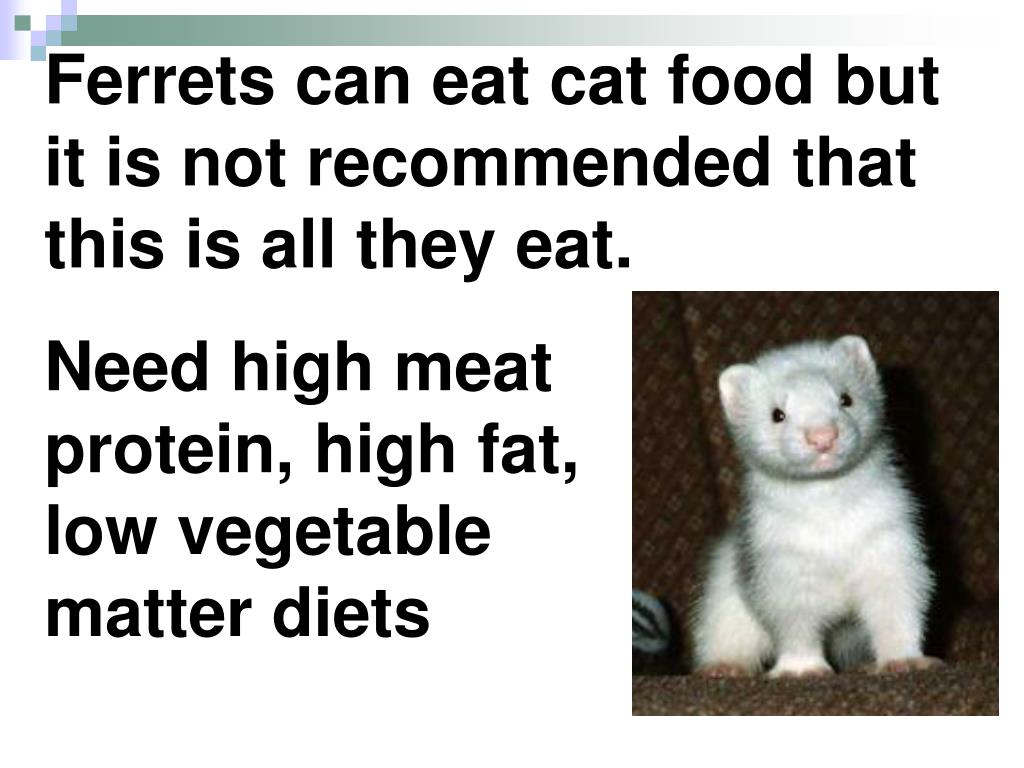 Ferrets can eat cat food but it is not recommended that this is all they eat.