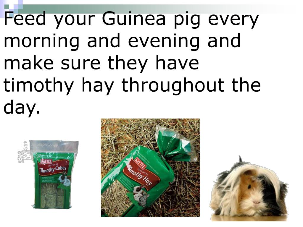 Feed your Guinea pig every morning and evening and make sure they have timothy hay throughout the day.