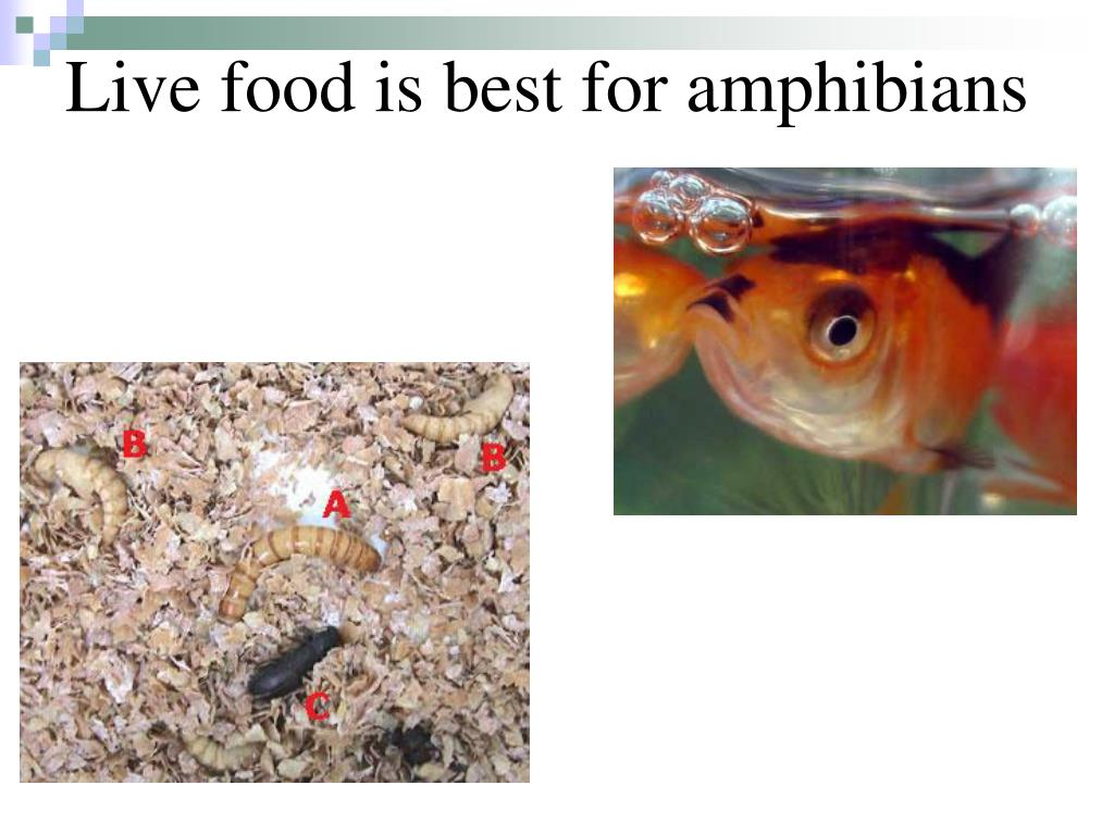 Live food is best for amphibians