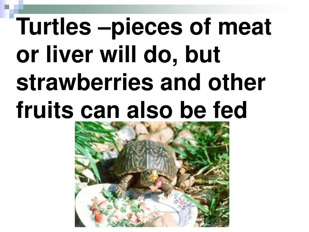Turtles –pieces of meat or liver will do, but strawberries and other fruits can also be fed