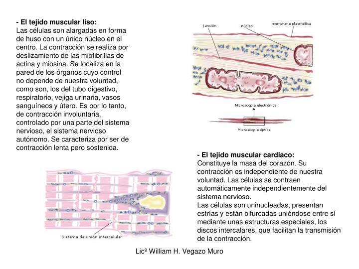- El tejido muscular liso: