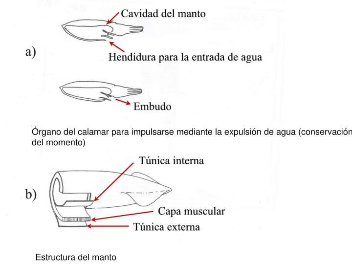 Órgano del calamar para impulsarse mediante la expulsión de agua (conservación