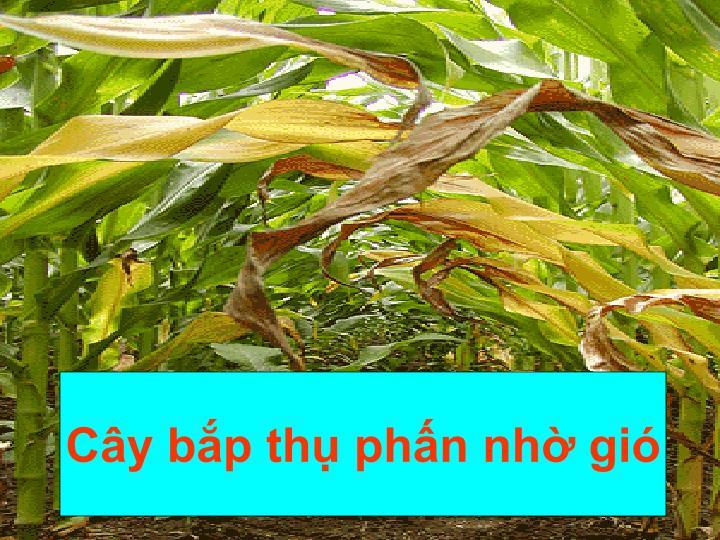 Cây bắp thụ phấn nhờ gió