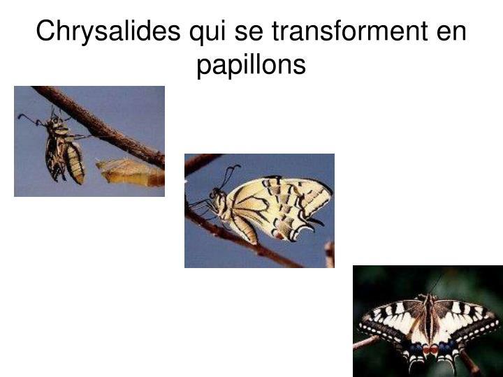 Chrysalides qui se transforment en papillons