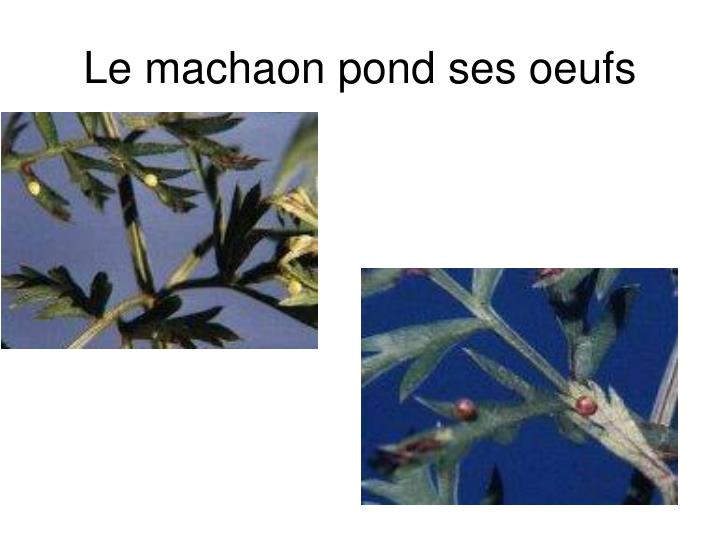 Le machaon pond ses oeufs