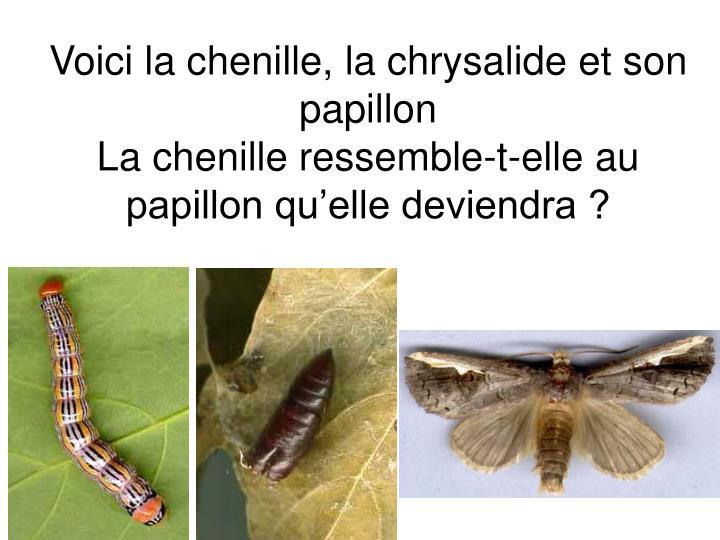 Voici la chenille, la chrysalide et son papillon