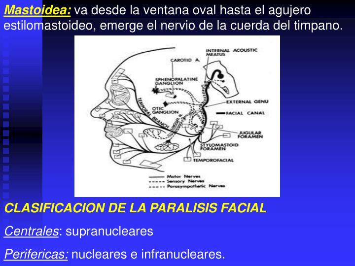 Mastoidea: