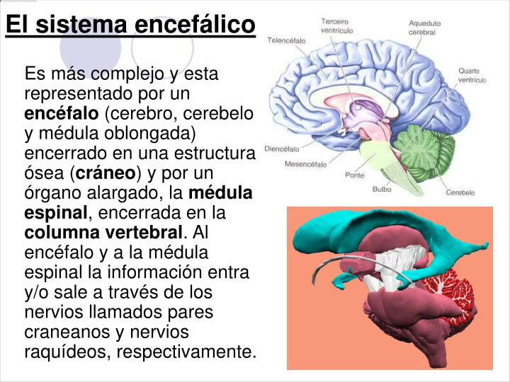El sistema encefálico