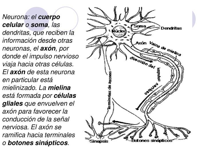Neurona: el