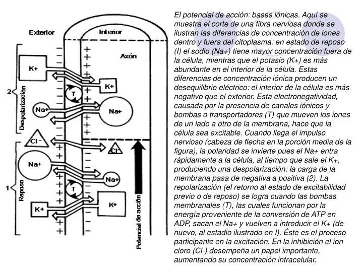 El potencial de acción: bases iónicas. Aquí se muestra el corte de una fibra nerviosa donde se ilustran las diferencias de concentración de iones dentro y fuera del citoplasma: en estado de reposo (I) el sodio (Na+) tiene mayor concentración fuera de la célula, mientras que el potasio (K+) es más abundante en el interior de la célula. Estas diferencias de concentración iónica producen un desequilibrio eléctrico: el interior de la célula es más negativo que el exterior. Esta electronegatividad, causada por la presencia de canales iónicos y bombas o transportadores (T) que mueven los iones de un lado a otro de la membrana, hace que la célula sea excitable. Cuando llega el impulso nervioso (cabeza de flecha en la porción media de la figura), la polaridad se invierte pues el Na+ entra rápidamente a la célula, al tiempo que sale el K+, produciendo una despolarización: la carga de la membrana pasa de negativa a positiva (2). La repolarización (el retorno al estado de excitabilidad previo o de reposo) se logra cuando las bombas membranales (T), las cuales funcionan por la energía proveniente de la conversión de ATP en ADP, sacan el Na+ y vuelven a introducir el K+ (de nuevo, al estadio ilustrado en I). Éste es el proceso participante en la excitación. En la inhibición el ion cloro (Cl-) desempeña un papel importante, aumentando su concentración intracelular