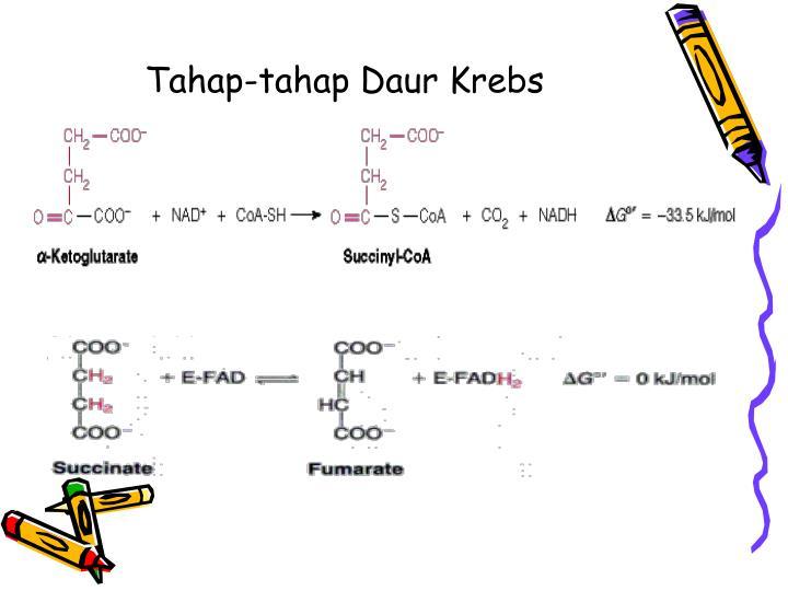 Tahap-tahap Daur Krebs