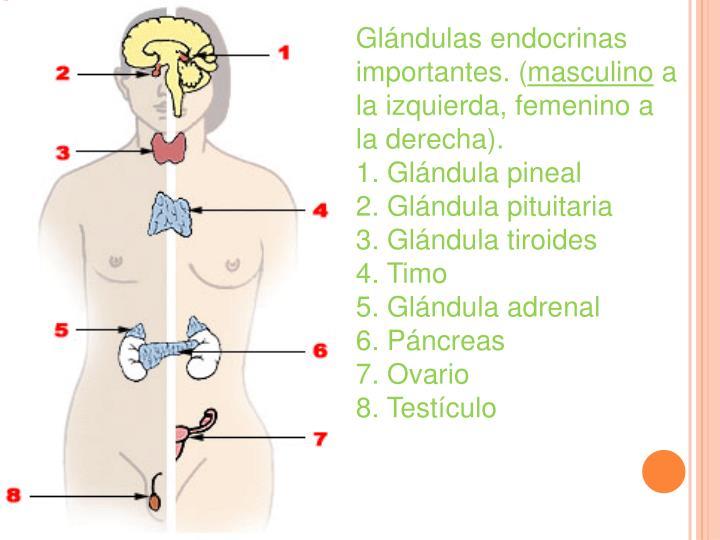 Glándulas endocrinas importantes. (