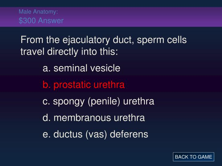 Male Anatomy: