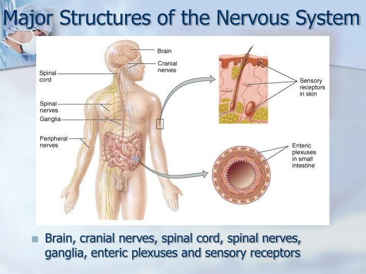 Major structures of the nervous system