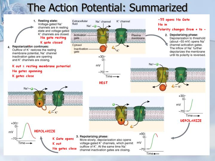 The Action Potential: Summarized