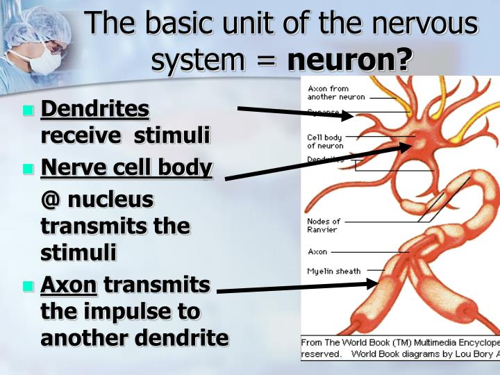 The basic unit of the nervous