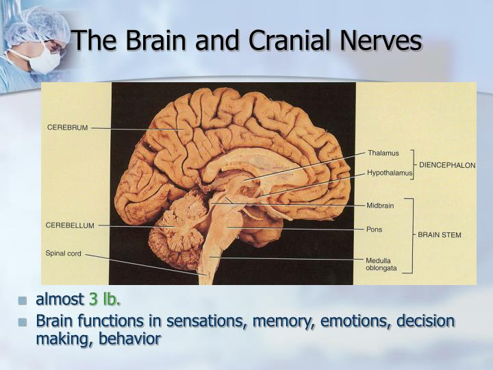 The Brain and Cranial Nerves