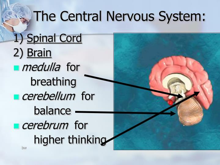 The Central Nervous System: