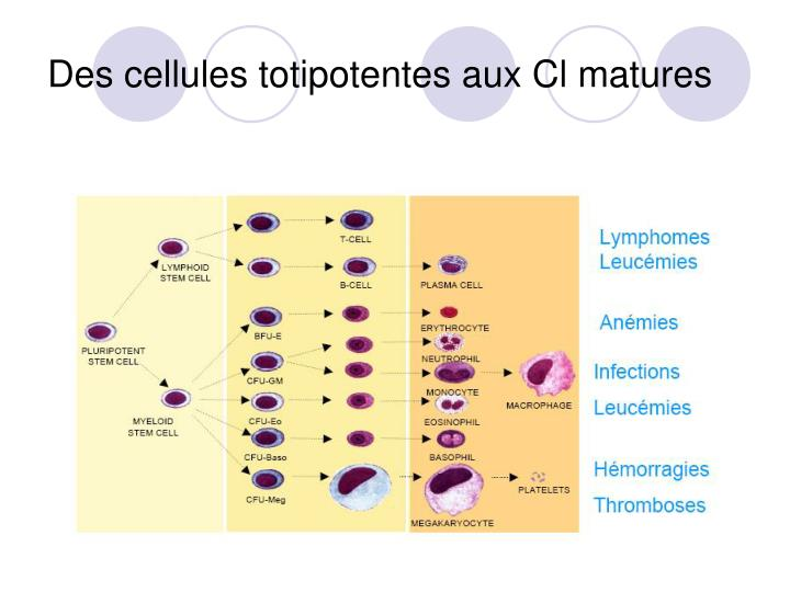 Des cellules totipotentes aux Cl matures