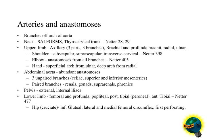 Arteries and anastomoses