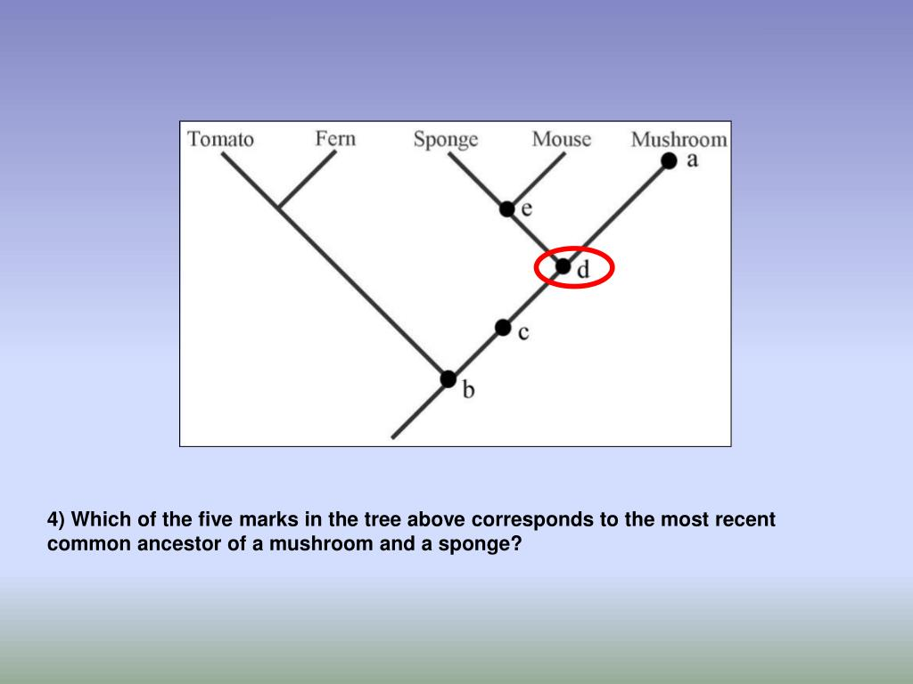 4) Which of the five marks in the tree above corresponds to the most recent common ancestor of a mushroom and a sponge?