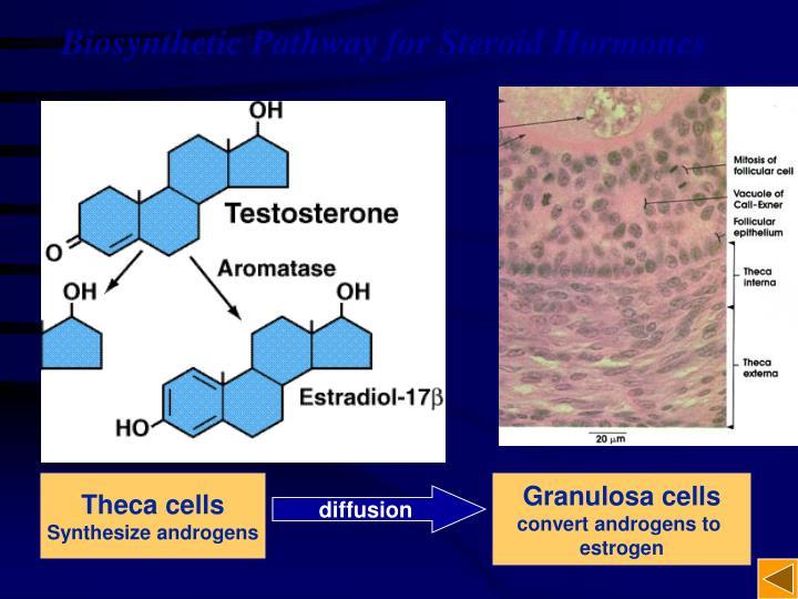 Biosynthetic Pathway for Steroid Hormones