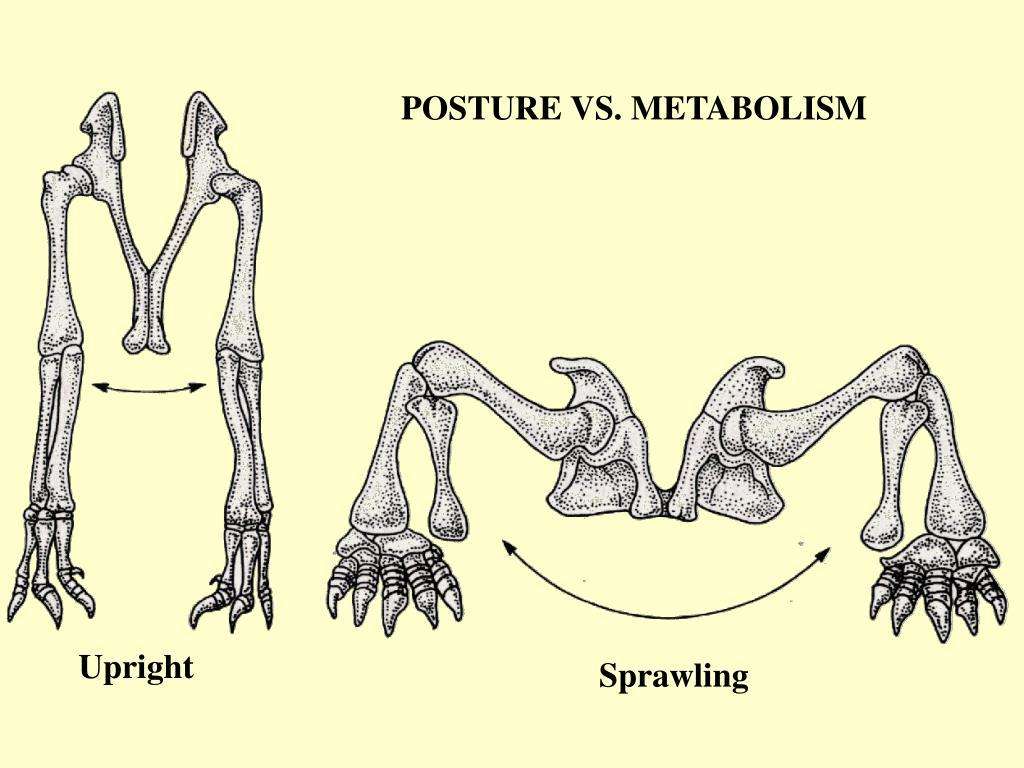 POSTURE VS. METABOLISM