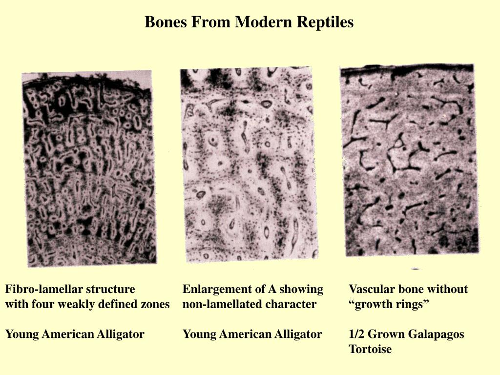 Bones From Modern Reptiles