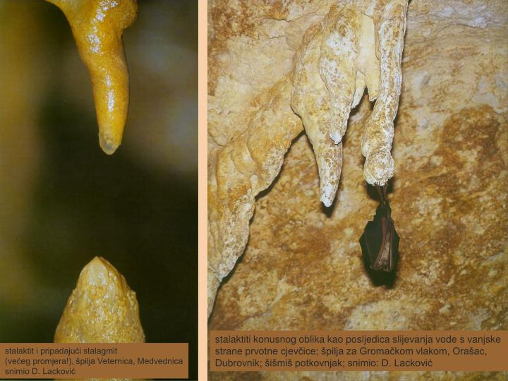 stalaktiti konusnog oblika kao posljedica slijevanja vode s vanjske strane prvotne cjevčice; špilja za Gromačkom vlakom, Orašac, Dubrovnik; šišmiš potkovnjak; snimio: D. Lacković