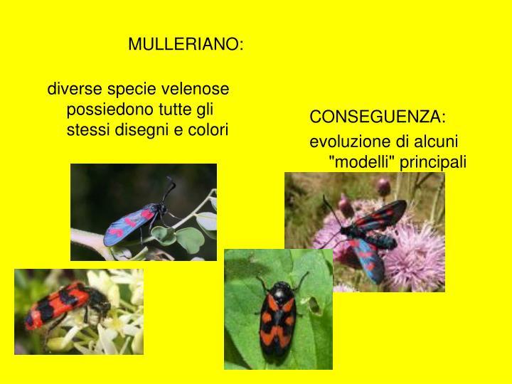 MULLERIANO:
