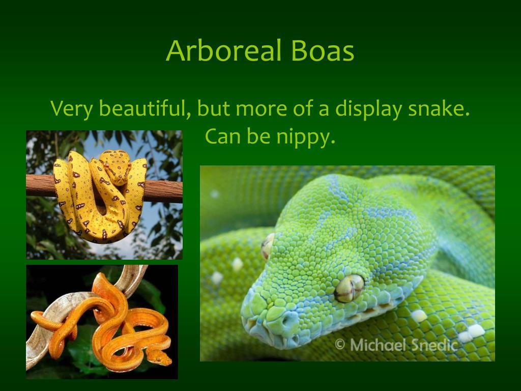 Arboreal Boas