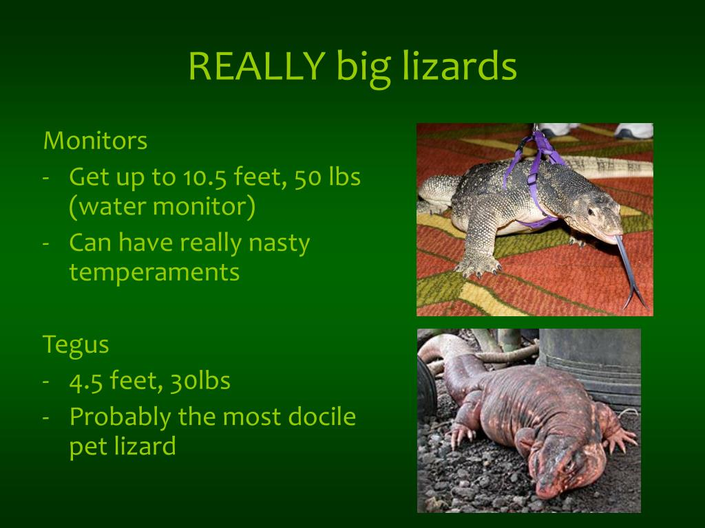REALLY big lizards