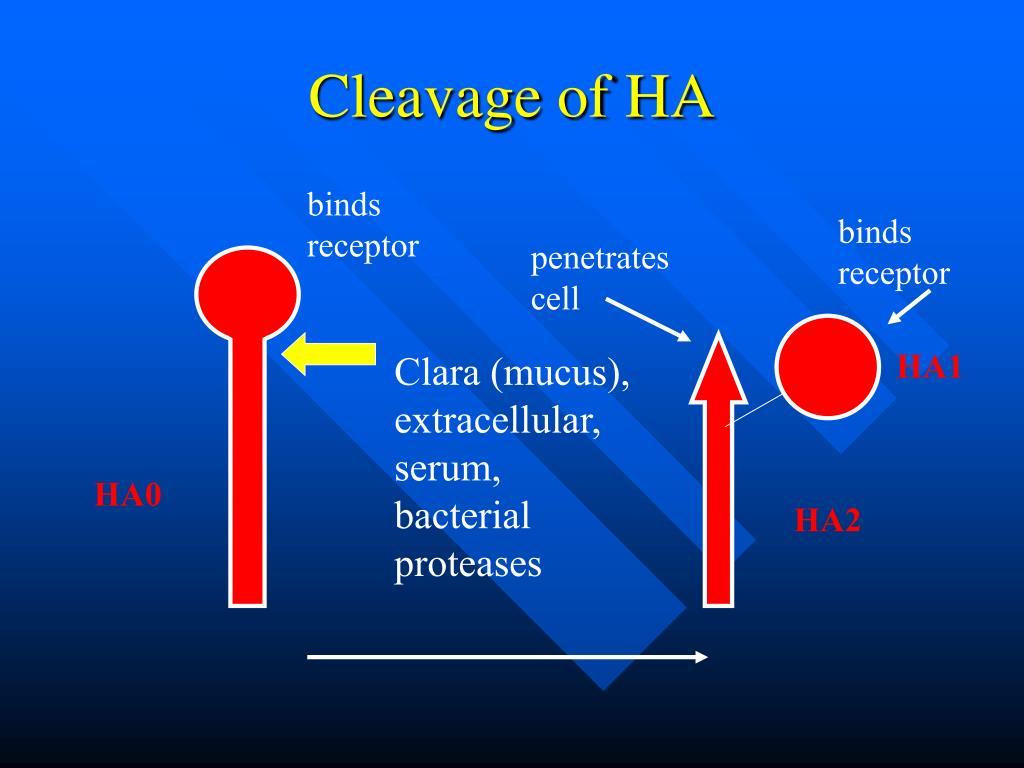 Cleavage of HA