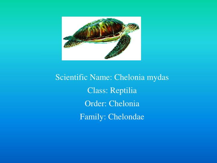 Scientific Name: Chelonia mydas